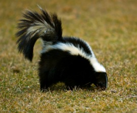 Striped Skunk (Mephitis mephitis) sniffs about in the grass